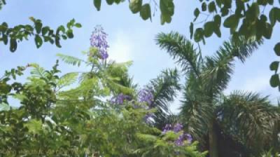 Hoa phượng tím (Jacaranda mimosifolia) đón nắng hè