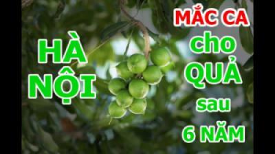 Cây Mắc ca (Macadamia) ra quả sau 6 năm trồng thử nghiệm tại CV thực vật cảnh Việt Nam