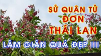 Hoa SỬ QUÂN TỬ ĐƠN THÁI LAN - Ưu điểm vượt trội so với hoa Sử quân tử Việt