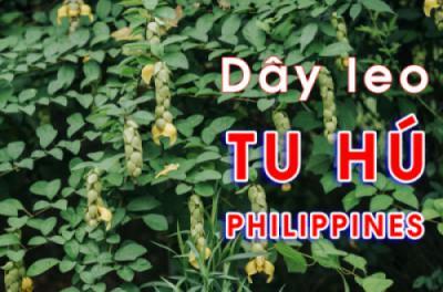 Cây dây leo Tu hú Philippines (Cây Huyền Trân công chúa - Gmelina philippinensis Cham)